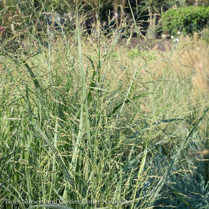 #1 Grass Panicum virg Summer Sunrise/ Switch