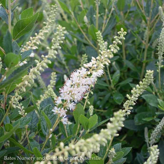 #3 Clethra alnifolia Sixteen Candles/Summersweet