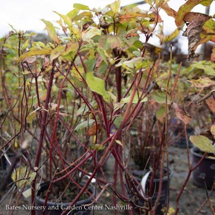 #1 Cornus alba Prairie Fire/Tatarian Red Twig Dogwood Golden