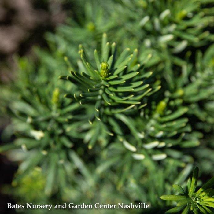 #6 Cephalotaxus harringtonia Fastigiata/Upright Plum Yew