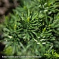 #2 Cephalotaxus harringtonia Fastigiata/Upright Plum Yew