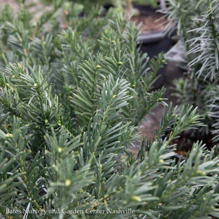 #6 Cephalotaxus harringtonia Hedgehog/Japanese Plum Yew