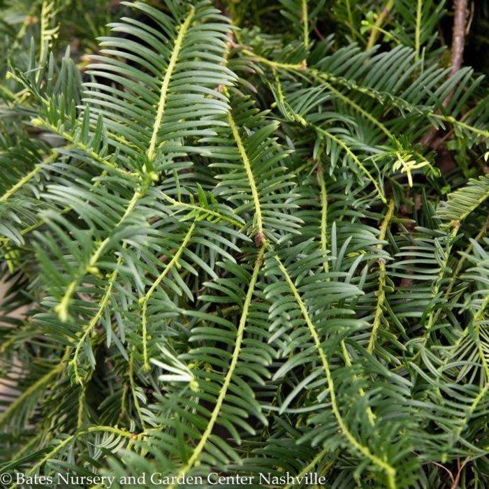 #3 Cephalotaxus harringtonia Prostrata/Spreading Japanese Plum Yew