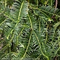 #7 Cephalotaxus harringtonia Prostrata/Spreading Japanese Plum Yew