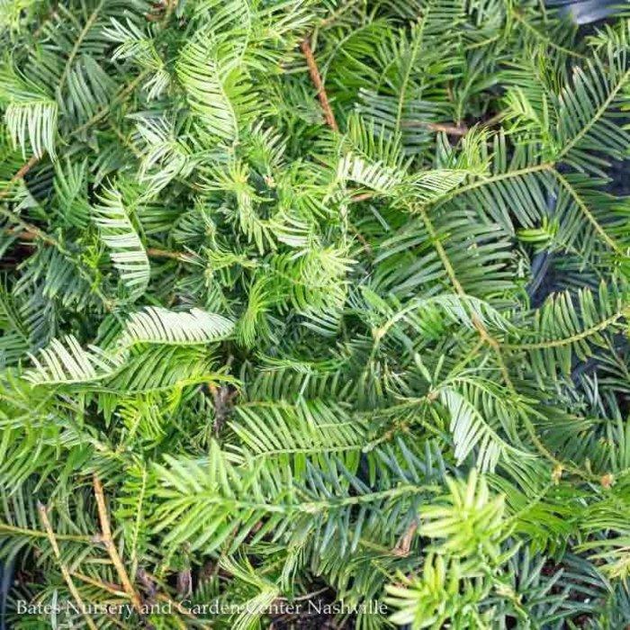 #3 Cephalotaxus harringtonia Yewtopia/Japanese Plum Yew