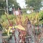 #3 Cornus alba Neon Burst/Red Twig Dogwood Golden