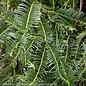 #2 Cephalotaxus harringtonia Prostrata/Spreading Japanese Plum Yew