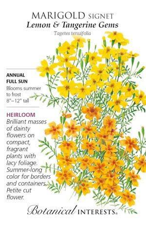 Seed Marigold Signet Lemon/Tangerine Gem Heirloom - Tagetes tenuifolia