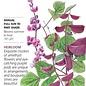 Seed Hyacinth Bean Ruby Moon Heirloom - Lablab purpureus