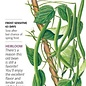 Seed Bean Pole Kentucky Wonder Heirloom - Phaseolus vulgaris