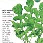Seed Arugula Rocket Salad Organic Heirloom - Eruca sativa