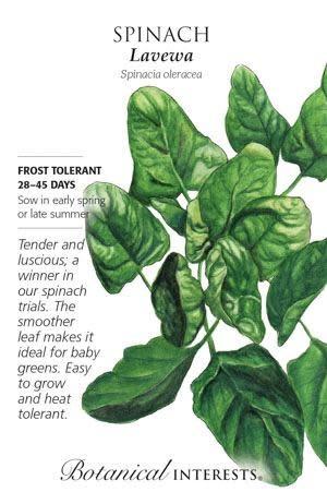 Seed Spinach Lavewa - Spinacia oleracea