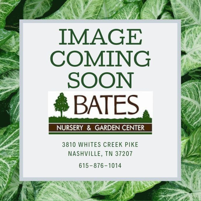 Seed Basil Genovese Italian Herb
