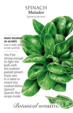 Seed Spinach Matador - Spinacia oleracea