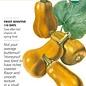 Seed Squash Winter Honeynut Organic - Cucurbita moschata