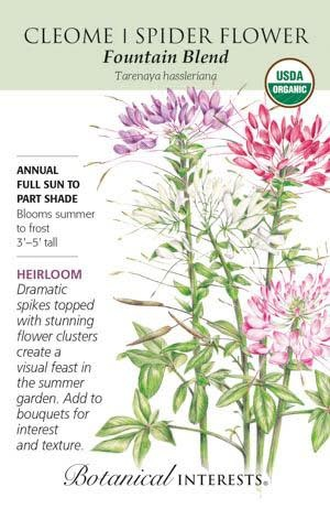 Seed Cleome Spider Flower Fountain Blend Organic Heirloom - Tarenaya hassleriana