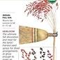 Seed Broom Corn Amish Rainbow Organic Heirloom - Sorghum bicolor