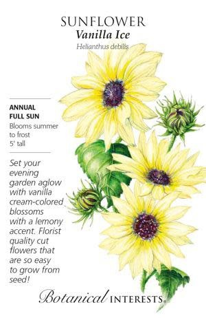 Seed Sunflower Vanila Ice - Helianthus debilis