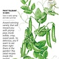 Seed Pea Snap Sugar Snap Organic - Pisum sativum - Lrg Pkt
