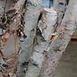 White Birch Pole 6ft ea