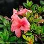 #3 Azalea Encore Autumn Coral/Repeat/coral