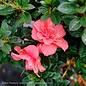 #3 Azalea Encore Autumn Princess/Repeat/pink