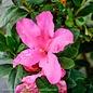 #3 Azalea Encore Autumn Sangria/Repeat/Neon Pink