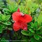 #3 Azalea Encore Autumn Bravo/Repeat/ orange-red