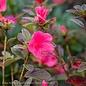 #3 Azalea Encore Autumn Ruby/Repeat/red