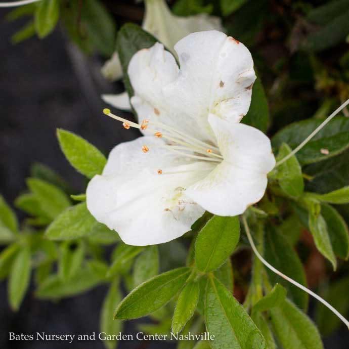#3 Azalea Encore Autumn Ivory/Repeat/white
