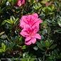 #3 Azalea Encore Autumn Empress/Repeat/dark pink