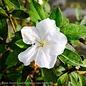#3 Azalea Encore Autumn Lily/Repeat/white