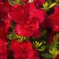 #3 Azalea Encore Autumn Bonfire/Repeat/true red