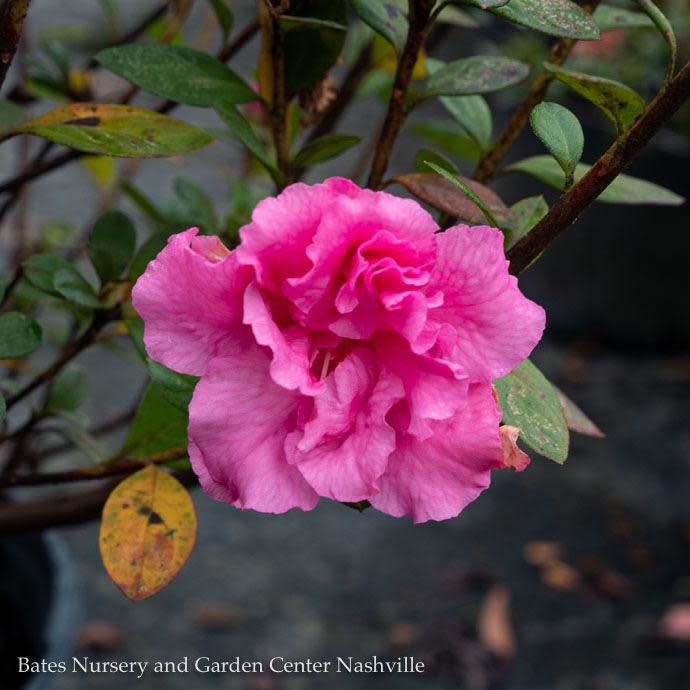 #3 Azalea Bloom-A-Thon Double Pink/Repeat