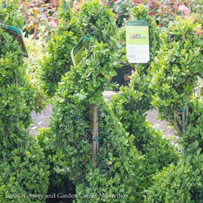 Topiary Spiral #5 Buxus Green Mountain/Boxwood