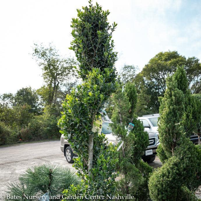 Topiary #10 Spiral Ilex x Emerald Colonnade/Hybrid Holly (male)