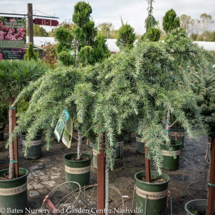 Topiary Patio Tree #5 Cedrus deodara Feelin Blue/Deodar Cedar