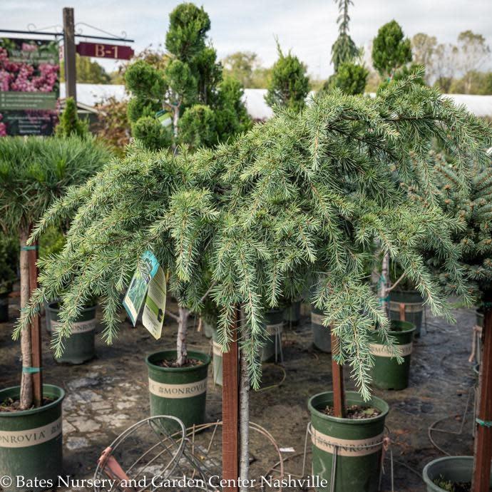 Topiary Patio Tree #5 Cedrus deodara Feelin Blue/Deodar Cedar
