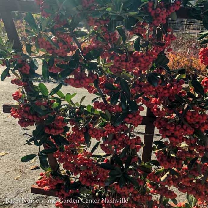 Topiary #5 ESP Pyracantha koid Victory/Firethorn