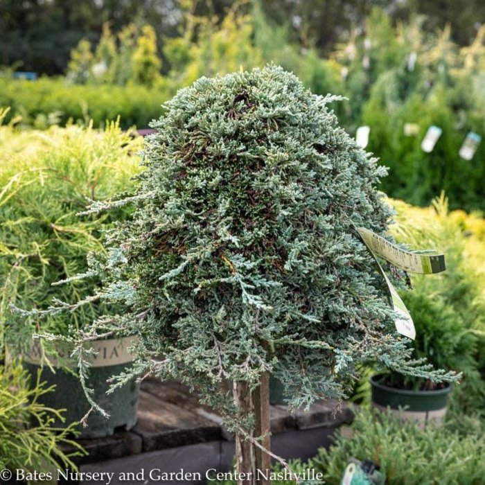 Topiary #5 PT Juniperus horiz Icee Blue/Creeping Juniper Patio Tree