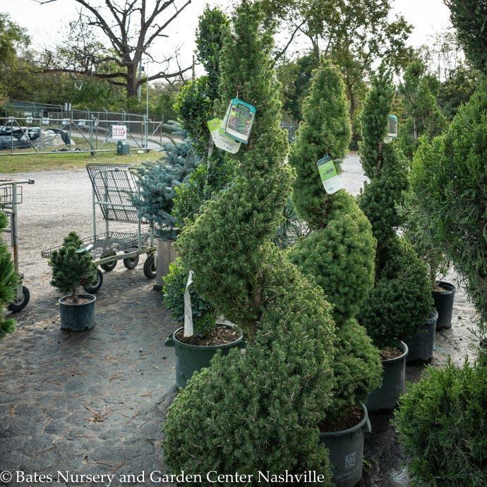 #5 Spiral Picea gl Conica/Dwarf Alberta Spruce NO WARRANTY