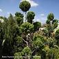 Topiary #15 OP Juniperus chin Torulosa/Hollywood Chinese Juniper Upright Oriental PomPom