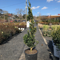 Topiary #7 Spiral Buxus sempervirens/American Boxwood