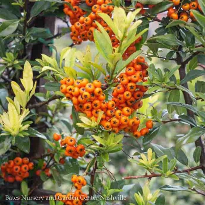 Topiary #5 ESP Pyracantha aug Yukon Belle/Firethorn Espalier