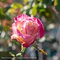 "#5 36"" PT Rosa Double Delight/Hybrid Tea Rose Tree NO WARRANTY"