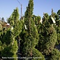 Topiary Spiral #5 Thuja occ Smaragd/Emerald Green Arborvitae Columnar