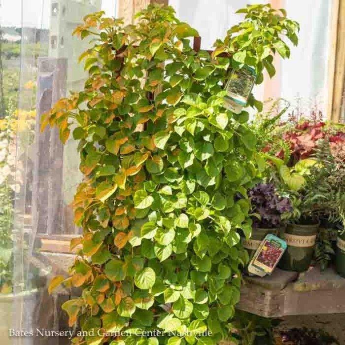 Topiary #5 Hydrangea petiolaris/Climbing Espalier