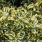 Topiary #5 Cone Euonymus japonicus Silver King/Variegated