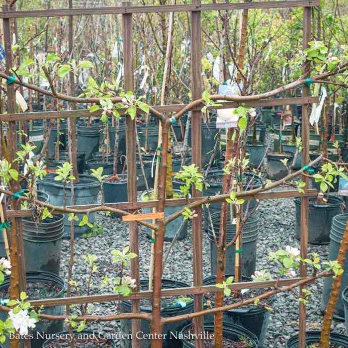 Topiary Edible #7 Malus/Apple 3-tier Liberty/Honeycrisp/Akane Espalier