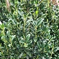 Topiary #5 2-Ball Poodle Ilex x Emerald Colonnade/Hybrid Holly (male)